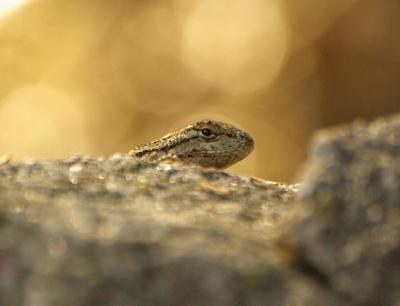 Bokeh_Lizard